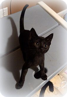 Domestic Shorthair Kitten for adoption in Millersville, Maryland - Hershey
