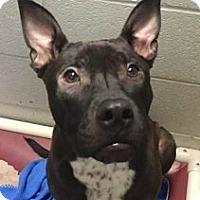 Adopt A Pet :: Link - Springdale, AR