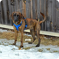 Adopt A Pet :: Whiskey - East Randolph, VT