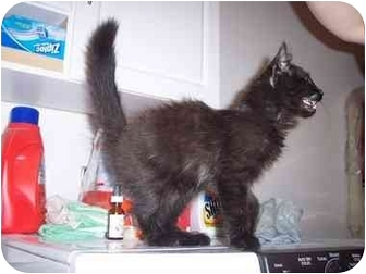 Domestic Longhair Kitten for adoption in Delmont, Pennsylvania - Monkey