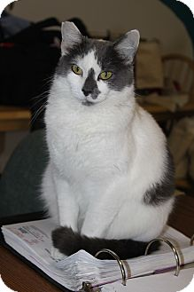 Domestic Shorthair Cat for adoption in North Branford, Connecticut - Ivy