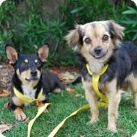 Adopt A Pet :: Shiloh - Sugar Land, TX