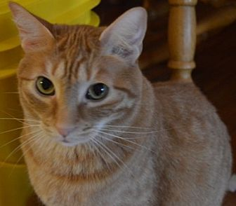 Domestic Shorthair Cat for adoption in Maywood, Illinois - O