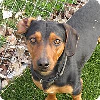 Adopt A Pet :: Peewee - Meridian, ID