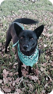 Schipperke/Shepherd (Unknown Type) Mix Dog for adoption in Mineral Wells, Texas - Momma
