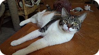 Domestic Shorthair Cat for adoption in Mesa, Arizona - Starlight