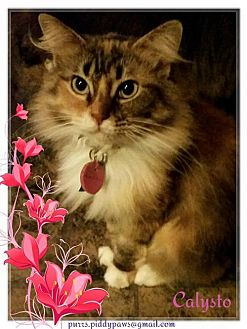 Domestic Longhair Cat for adoption in Fort Worth, Texas - Calysto