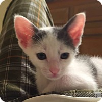 Domestic Shorthair Kitten for adoption in Fort Lauderdale, Florida - Jack