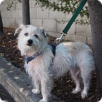 Adopt A Pet :: Zoot - Corona, CA