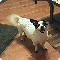 Jack Russell Terrier Mix Dog for adoption in Columbus, Ohio - Bandit