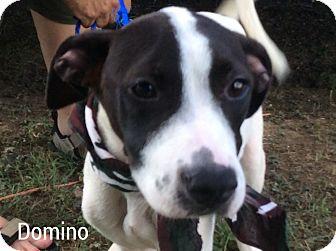 Terrier (Unknown Type, Medium)/Labrador Retriever Mix Puppy for adoption in Hagerstown, Maryland - Domino
