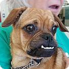 Adopt A Pet :: Trixie (chi/pug)