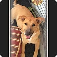 Anatolian Shepherd/Husky Mix Puppy for adoption in Los Angeles, California - Blue