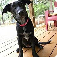 Adopt A Pet :: Raven (Courtesy Post) - Newark, DE
