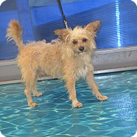 Cairn Terrier/Silky Terrier Mix Dog for adoption in Lodi, California - Fritz