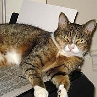 Domestic Shorthair Cat for adoption in San Antonio, Texas - Marvelous Munchkin