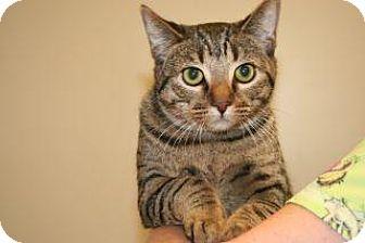 Domestic Shorthair Cat for adoption in Wildomar, California - Paul
