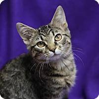 Domestic Shorthair Kitten for adoption in Kettering, Ohio - Carousel