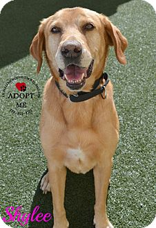 Labrador Retriever Mix Dog for adoption in Youngwood, Pennsylvania - Shylee