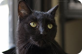 Domestic Shorthair Cat for adoption in Houston, Texas - BABY