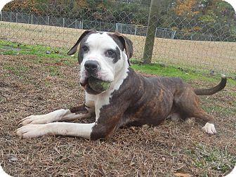 American Bulldog Mix Dog for adoption in Newport, North Carolina - Diseal