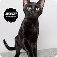 Adopt A Pet :: Midnight - Wyandotte, MI