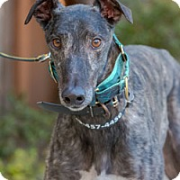 Adopt A Pet :: Yogi - Walnut Creek, CA