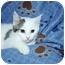 Photo 2 - Domestic Shorthair Cat for adoption in Santa Rosa, California - Astrid