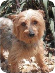 Yorkie, Yorkshire Terrier Mix Dog for adoption in Oakland, Arkansas - Pancake