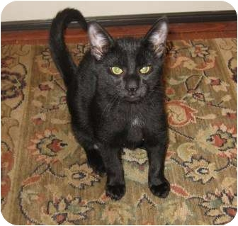 Domestic Shorthair Kitten for adoption in Harriman, NY, New York - McGee