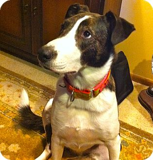 Collie/Boxer Mix Dog for adoption in Minnetonka, Minnesota - Sophie