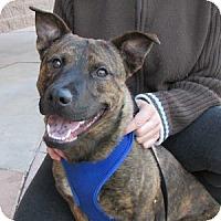 Adopt A Pet :: Murphy - Gilbert, AZ