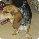 Adopt A Pet :: Perry(BRN)