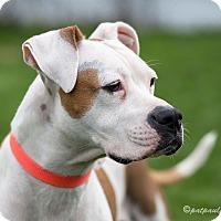 Adopt A Pet :: Sheena - Kenilworth, NJ