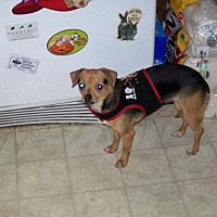 Chihuahua Mix Dog for adoption in Fort Worth, Texas - Becca