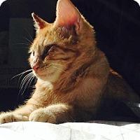 Adopt A Pet :: Taylor - Orinda, CA