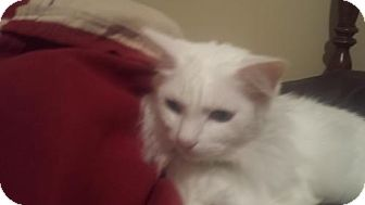 Turkish Angora Cat for adoption in Cincinnati, Ohio - zz 'Gracie' courtesy listing