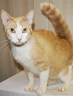 American Shorthair Cat for adoption in Jackson, Mississippi - Pepe Lu