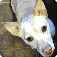 Adopt A Pet :: Ivy - Arenas Valley, NM