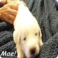 Adopt A Pet :: Mae - Kyle, TX