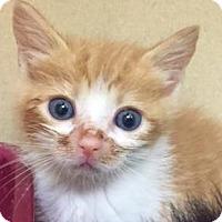 Adopt A Pet :: Adam Blue Eyes - Lincolnton, NC