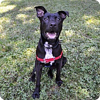 Terrier (Unknown Type, Medium)/Labrador Retriever Mix Dog for adoption in Mebane, North Carolina - Creed