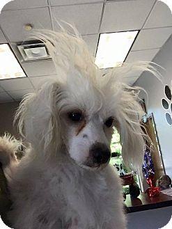 Chinese Crested Dog for adoption in Elgin, Illinois - Iodine