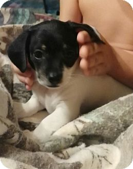 Dachshund/Jack Russell Terrier Mix Puppy for adoption in springtown, Texas - Nuggett