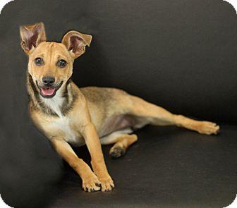 Rat Terrier/Terrier (Unknown Type, Small) Mix Puppy for adoption in Dalton, Georgia - Juni
