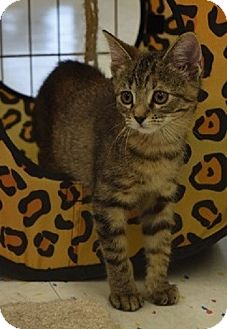 Domestic Shorthair Kitten for adoption in Naperville, Illinois - Lucy-10 WEEKS