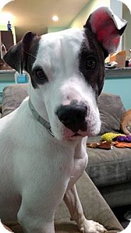 American Bulldog Mix Dog for adoption in Plant City, Florida - Cairo