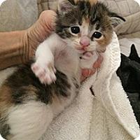 Calico Kitten for adoption in Metairie, Louisiana - Miss Piggy