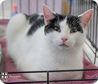 Domestic Shorthair Kitten for adoption in Merrifield, Virginia - Zenyatta