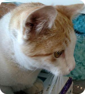 Domestic Shorthair Kitten for adoption in Yuba City, California - Trinity